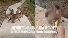 Detim Manik Memberi Makan Para Monyet di Taman Penangkaran Sibaganding
