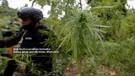 BNN Aceh musnahkan 3,5 hektar ladang ganja, pemilik belum ditemukan