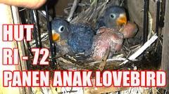 MERDEKA !! PANEN Anak Burung Lovebird Kandang Soliter Dan koloni PART 7