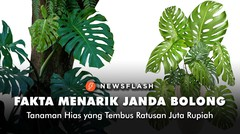 Fakta menarik Janda Bolong, tanaman hias yang tembus ratusan juta rupiah